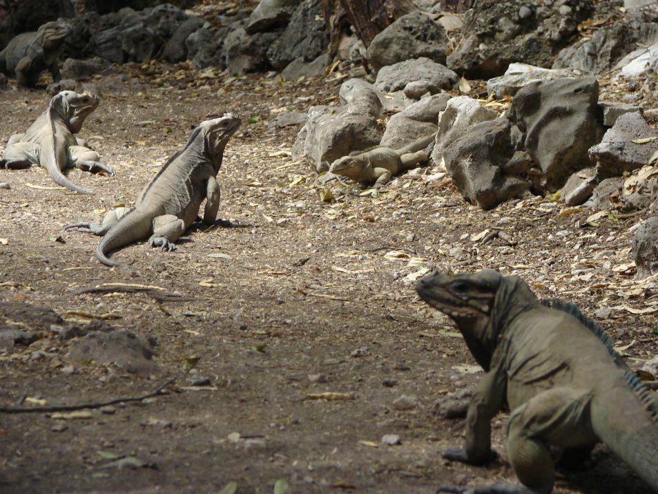 Iguany w Dominikanie przy Jeziorze Enriquillo