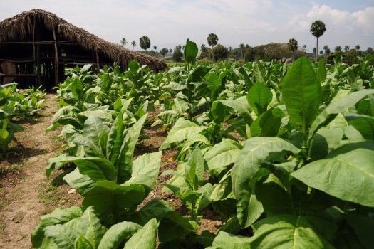 Na plantacji tytoniu