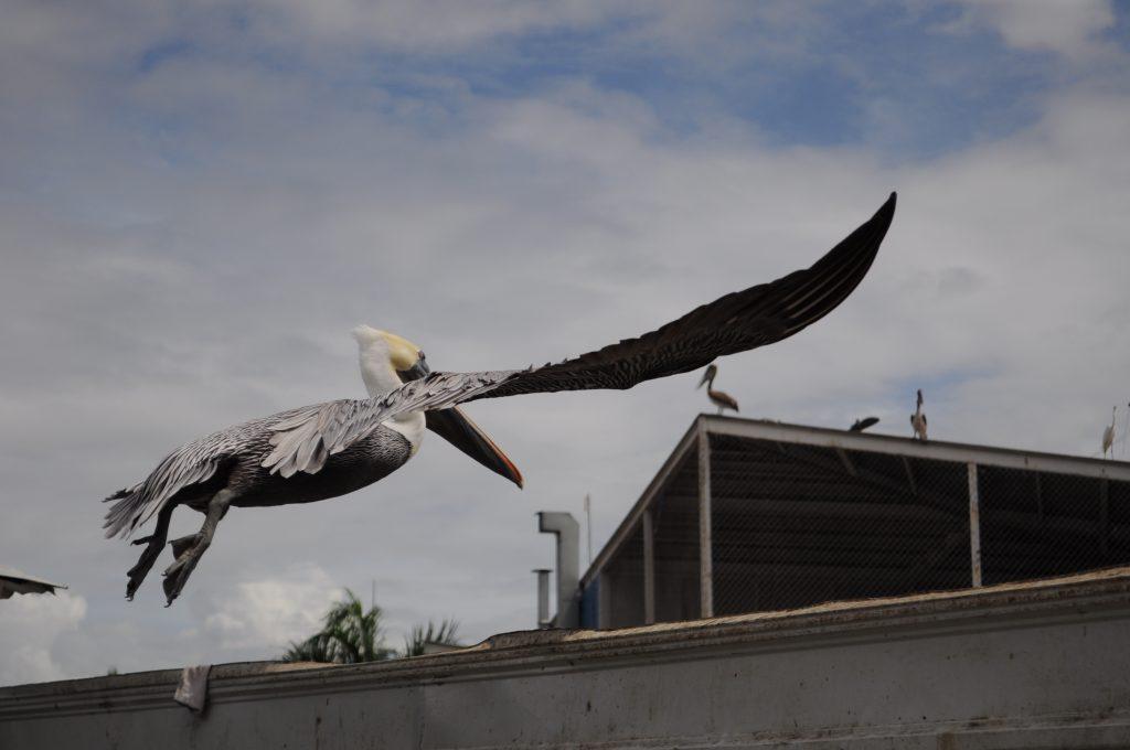 Pelikan w locie uchwycony w porcie rybackim w mieście Panama