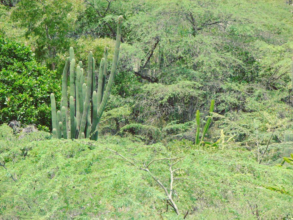 Kaktusy w okolicach Jeziora Enriquillo, Dominikana.
