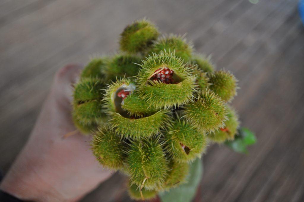 Achiote, jeszcze nie dojrzałe owoce z nasionami, osada Tusípono nad rzeką Chagres, Panama.