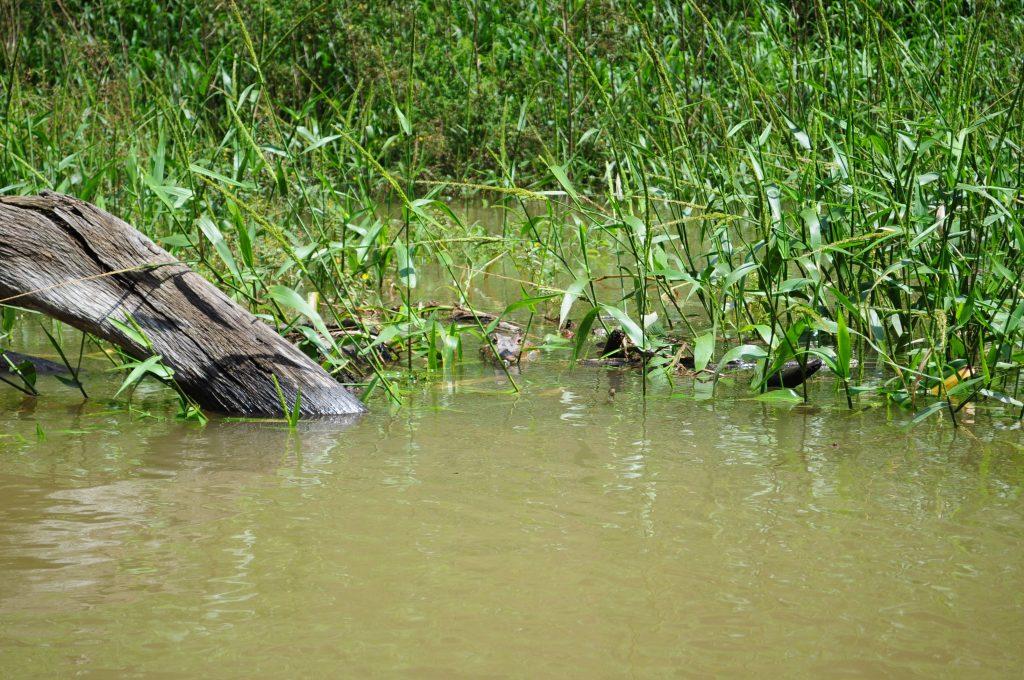 Krokodyl w rzece Chagres.