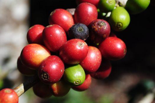 U źródła kawy