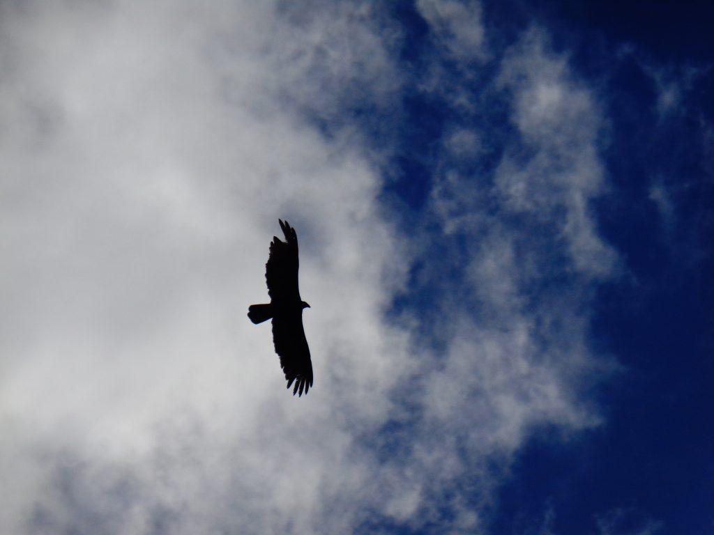 Urubu sfotografowany na niebie w zasięgu Las Galeras, Dominikana.